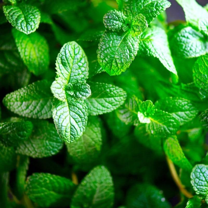 Premium Natural Mint  Flavour Concentrate